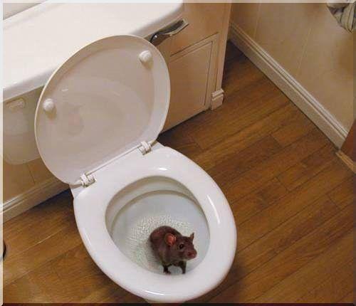 Попадание крыс в дом через канализацию